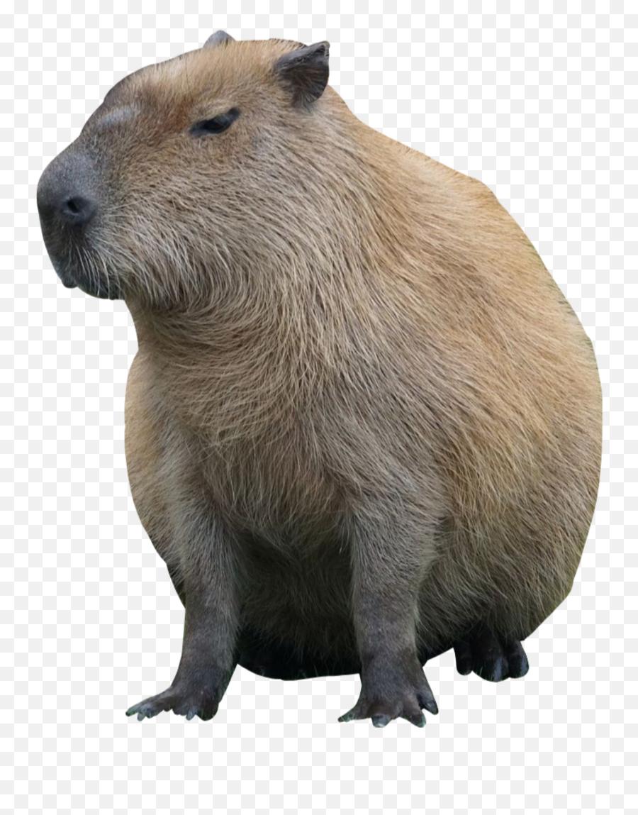 The Most Edited - Love My Capybara Meme Emoji,Capybara Emoji